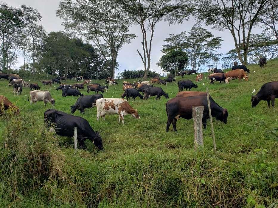Venta de <strong>vacas</strong> de Leche Alta Genética