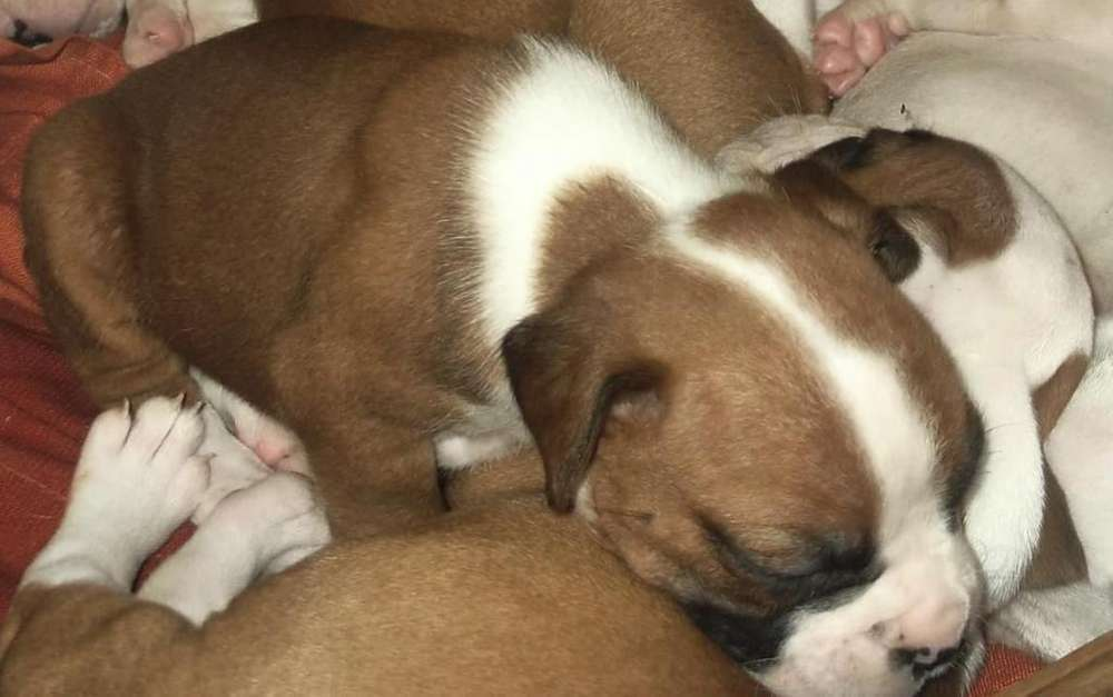3 Ultimas Boxer Puras Cachorras