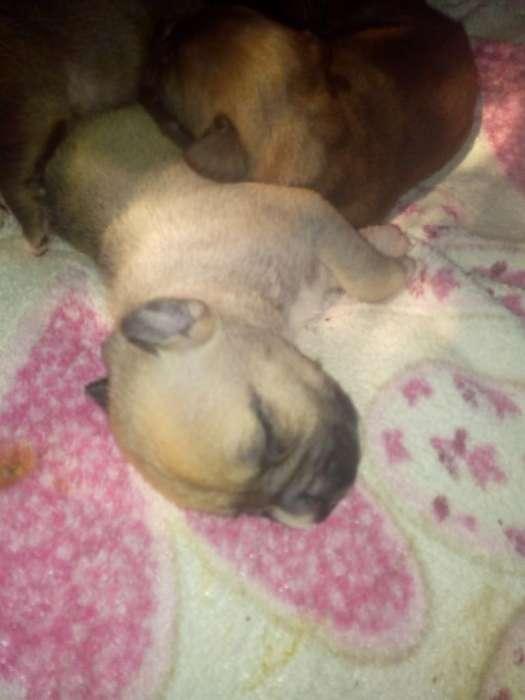 Vendo Cachorros Pitbull <strong>terrier</strong>
