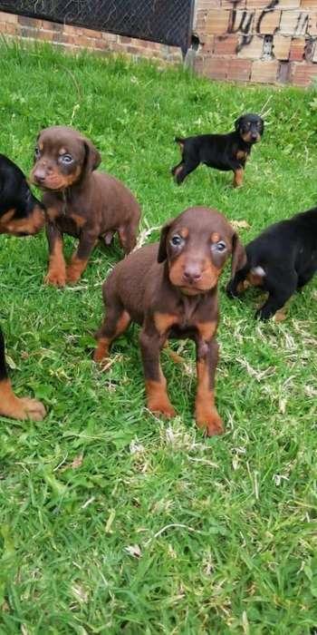 Doberman Cachorros Negro Fuego,
