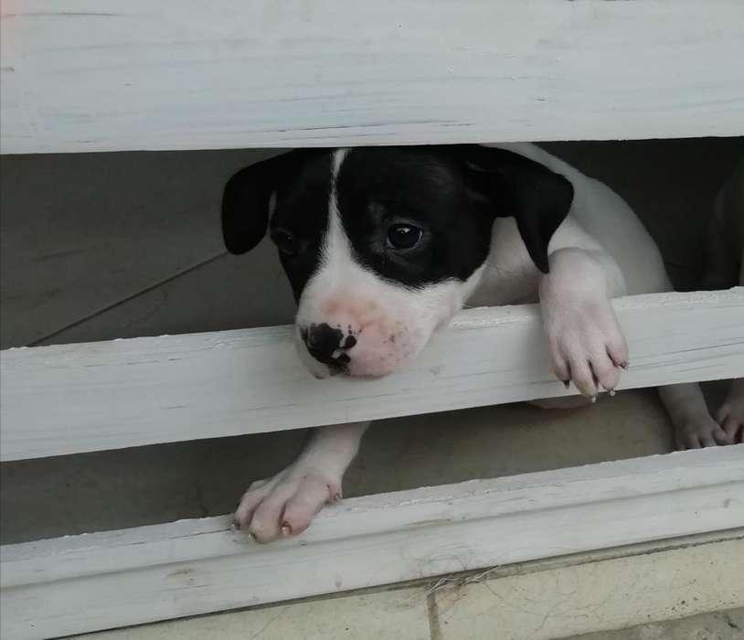 Cachorra pit bull