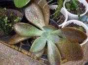 Echeveria Gibbiflora 'metallica' En Maceta12