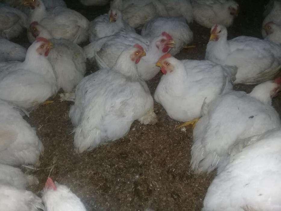 Venta de <strong>pollos</strong> Gordos