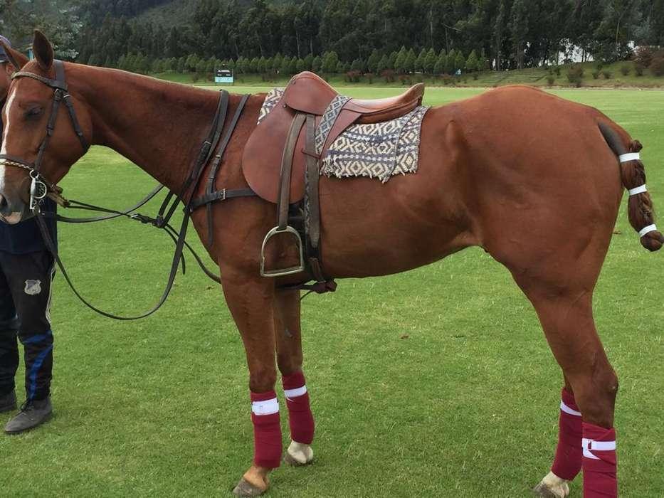 Venta de <strong>caballo</strong> cuarto de milla