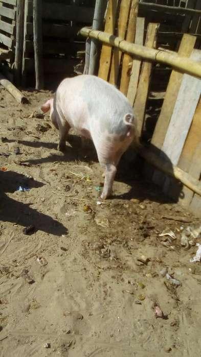 Vendo <strong>cerdo</strong>s Lechones O para Madres Piet