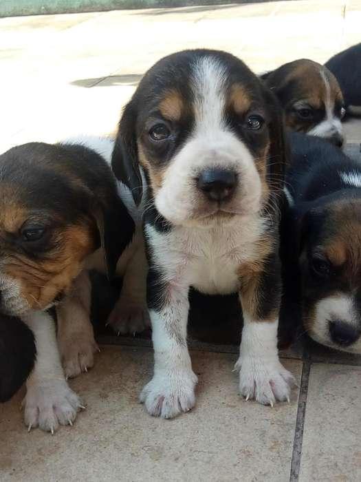 cachorros <strong>beagle</strong> hermosos machos y hembras