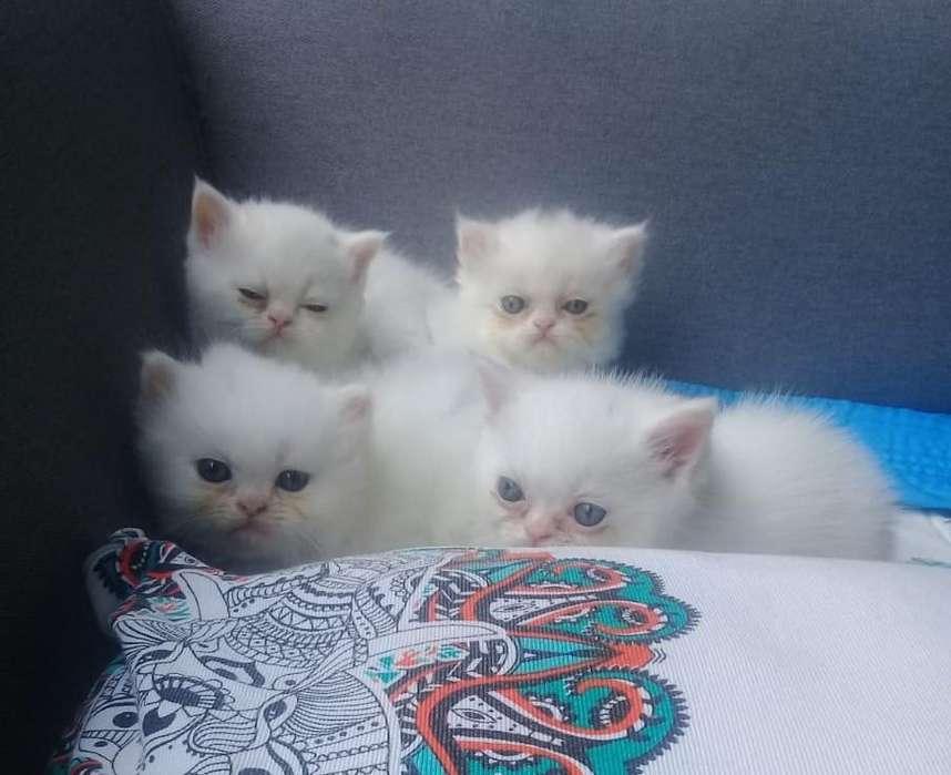 Hermosos <strong>gato</strong>s persas puros para la venta