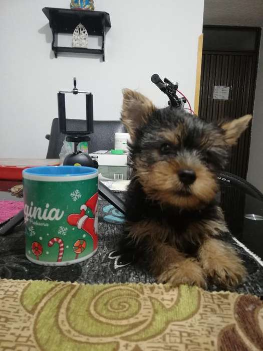 Vendo Yorshire Terrier Macho.