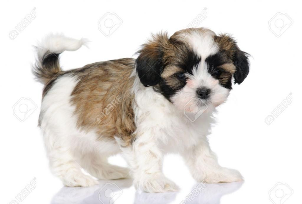 *PET SHOP VENDE SHIH TZU *