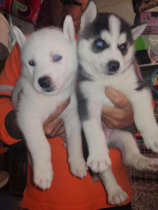 Huskies Original 169
