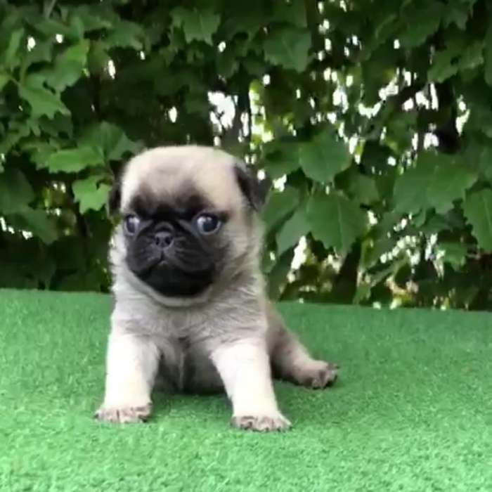 Pug Carlino Disponible Macho