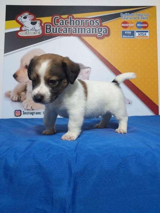 Beffi Jack Russell Terrier Muy Hermosos
