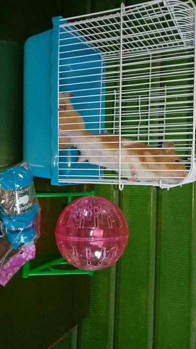 <strong>hamster</strong>