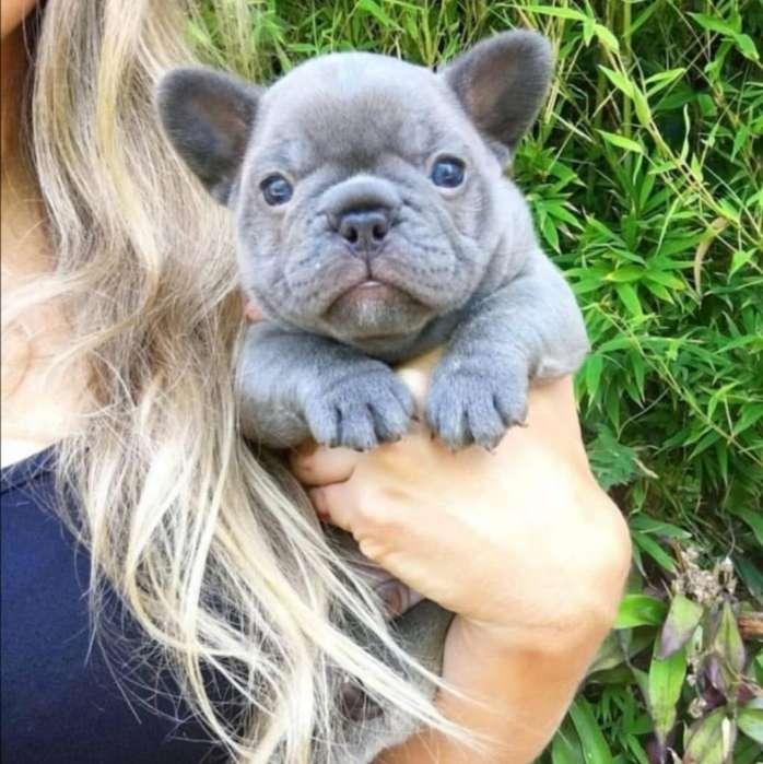 Divinos Bulldog Blue