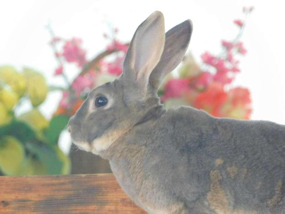Conejo MACHO Grande REPRODUCTOR Raza REX excelente genetica camada resultante en las fotos variedad de colores en CALI