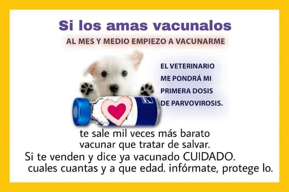 Vacunacion Mascotas Perros Gatos