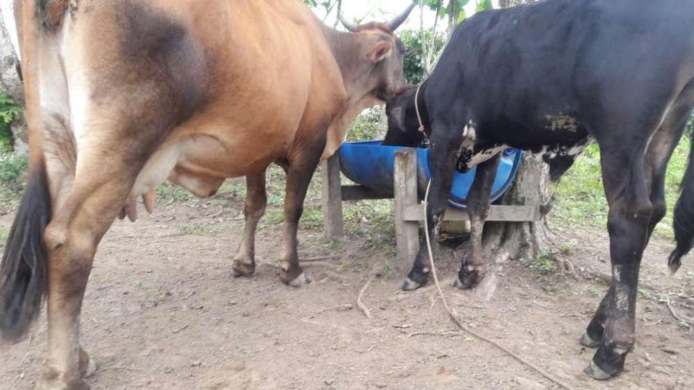 Se Vende <strong>vaca</strong> Lechera Sola O con Chivo