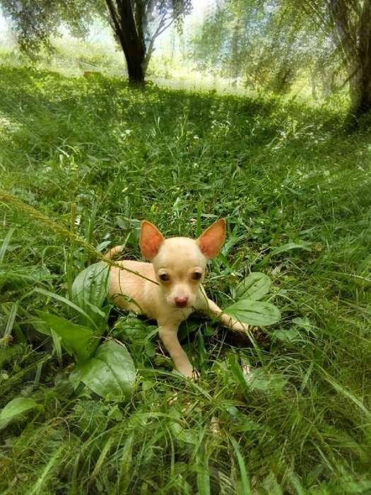 For Saleeee Chihuahua Macho Super Econom