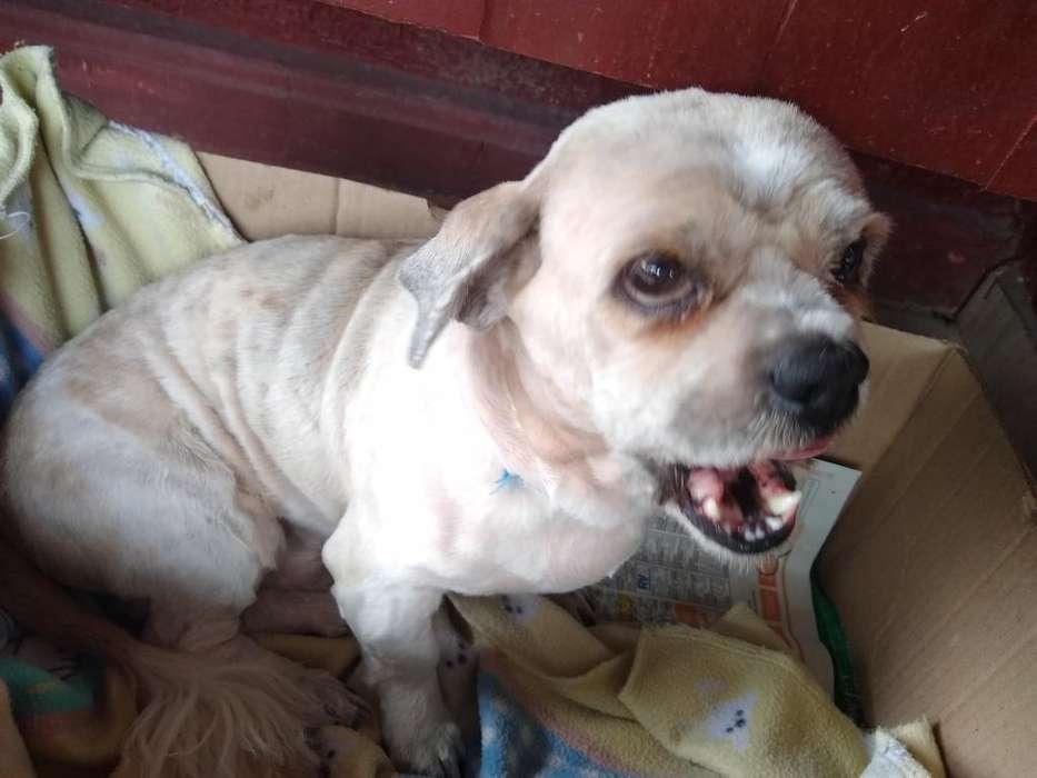 Perrito Chitzut en Adopción