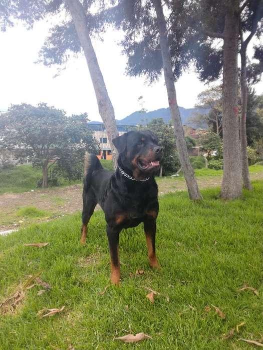 <strong>rottweiler</strong> Busco Novia