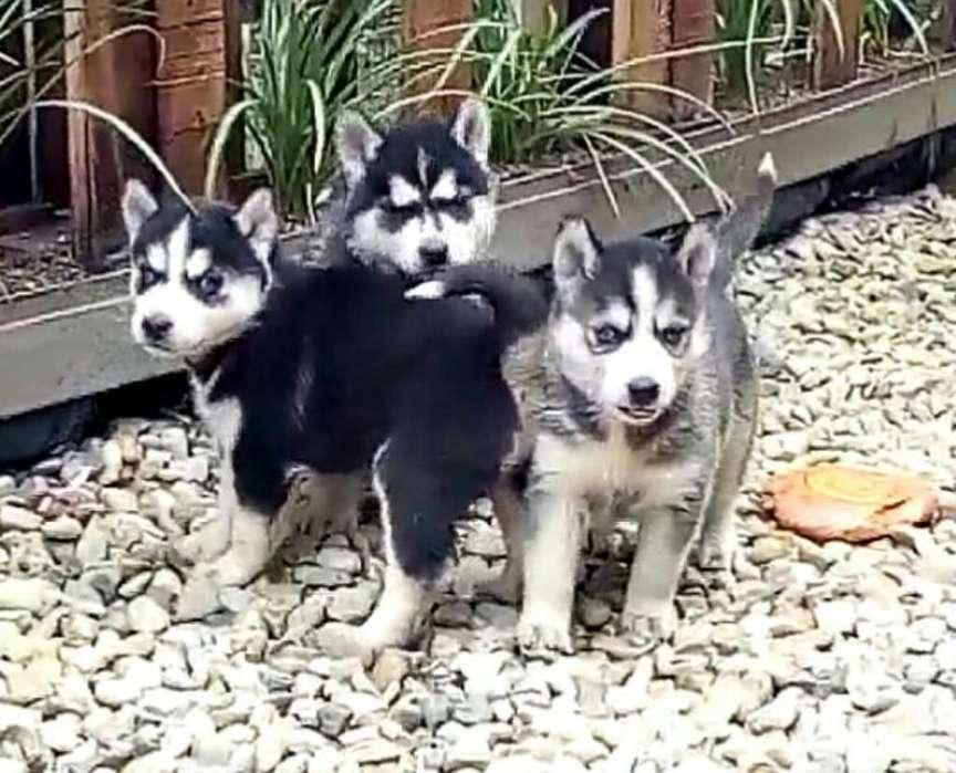 Venta de Cachorros Husky