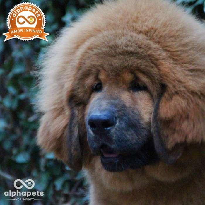 <strong>cachorro</strong>S MASTIN TIBETANO UNICOS EJEMPLARES PERU PEDIGREE PADRES PRESENTES