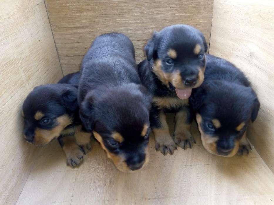 Vendo Excelente Cachorros <strong>rottweiler</strong>