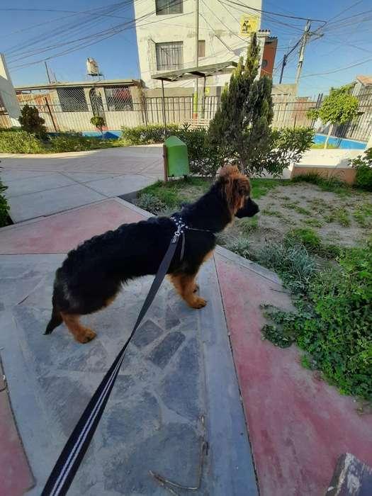 Vendo Un Cachorro Pastor Alemán D 4 Mess