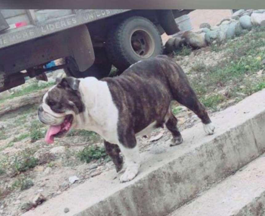 Linda <strong>bulldog</strong> Ingles Hembra de 2 Años