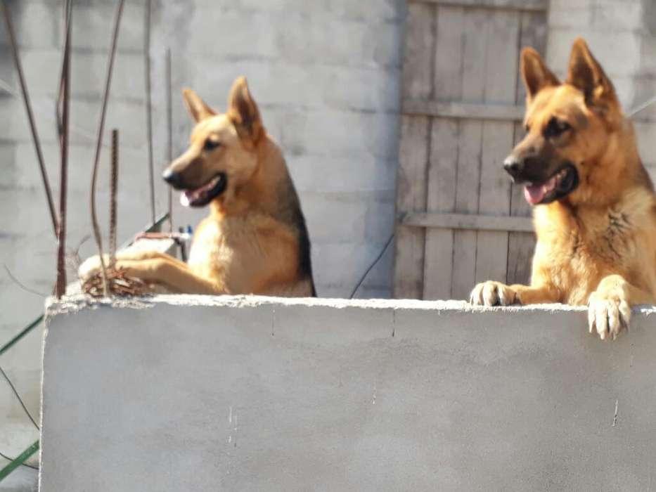 Cachorrros Ovejeros Aleman