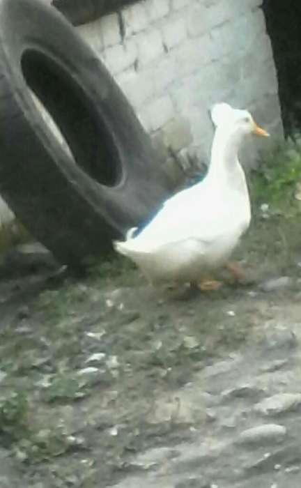 Vendo Pato Reina