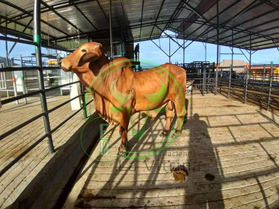Toro Brahman Rojo Puro con registro