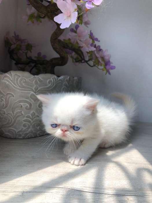Gato Persa- Machos