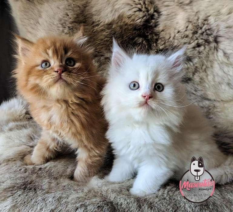 Espectaculares Gatos Persa Disponible