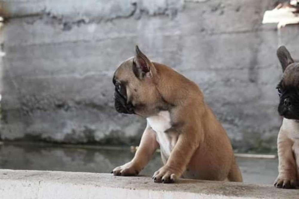 Cachorritos Bulldog Frances 2 Meses
