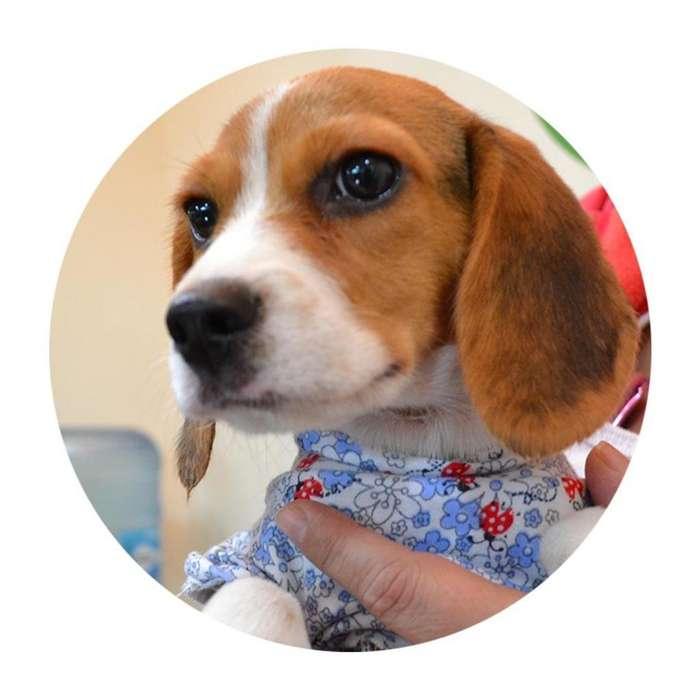 <strong>beagle</strong> hermoso GARANTIZADO