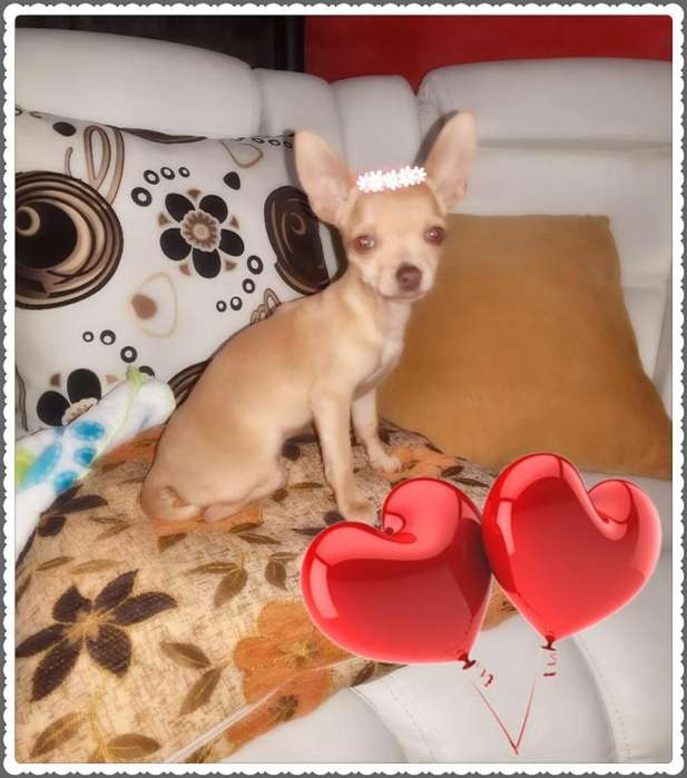 HOY!!! SUPER ECONOMIC <strong>chihuahua</strong> HEMBRA