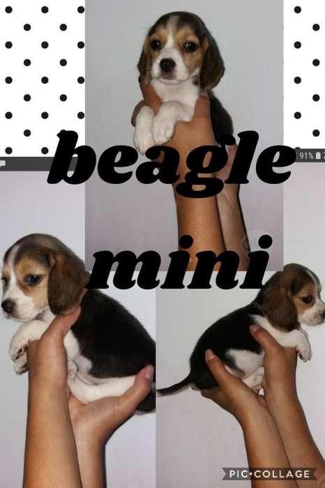 Exóticos <strong>beagle</strong>s Mini