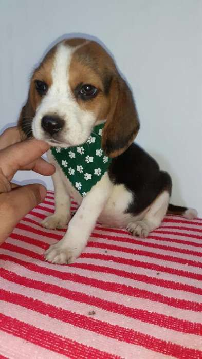 <strong>beagle</strong> Del Mejor Tommy