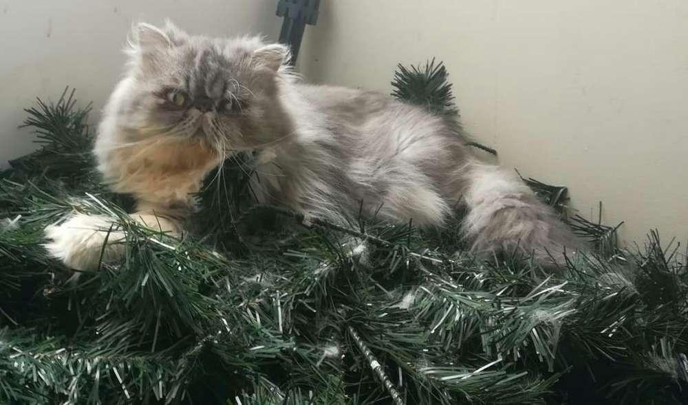 Gato para Monta a Domicilio Excelente