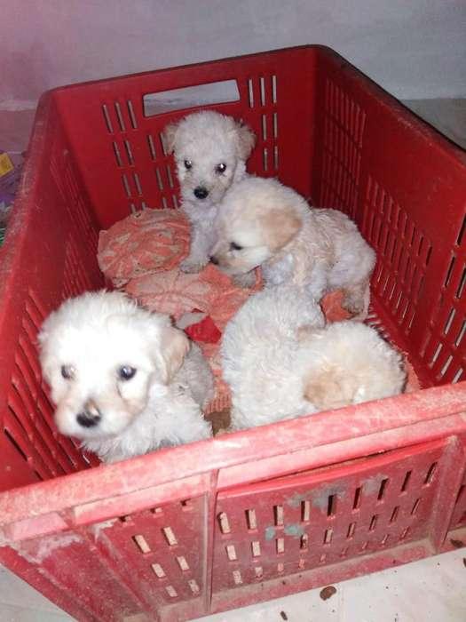 Hermosos Cachorritos de French Poodle