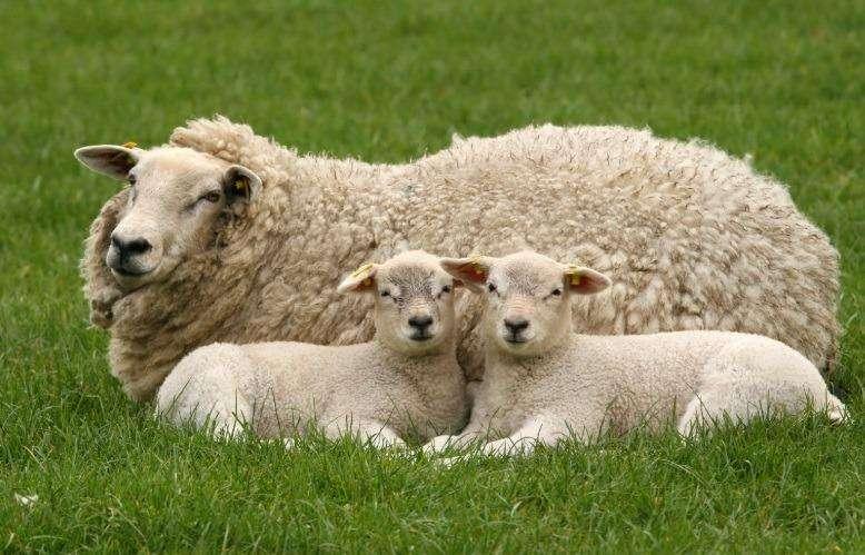 Vendo <strong>ovejas</strong> y Corderitos