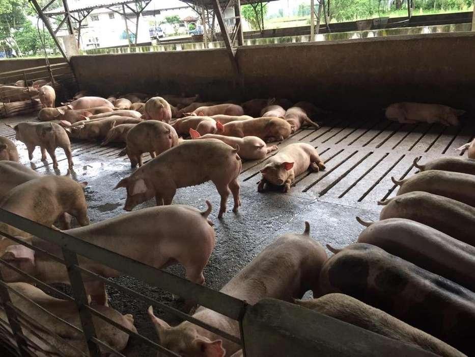 Venta Cerdos de Engorde