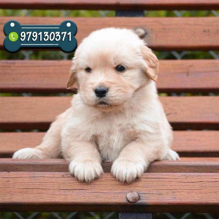 Cachorros Golden Retriever Vacunados Con Garantía De Raza y Salud *ENVIOS A TODO EL PERÚ