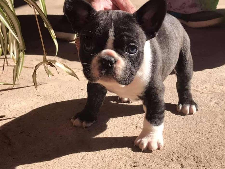 Ultimo Machito Bulldog Frances