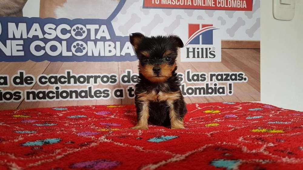 Diminuto Yorkshire <strong>terrier</strong> Tacita Bebe
