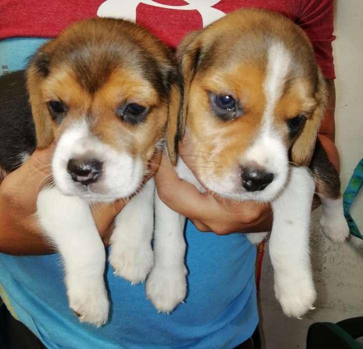 Cachorros <strong>beagle</strong>s Tricolor Patas Cortas