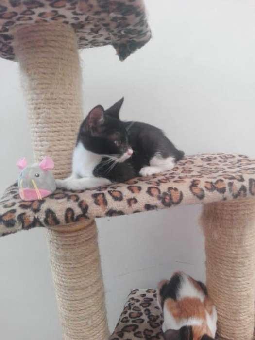gatico de 2 meses y medio en adopción