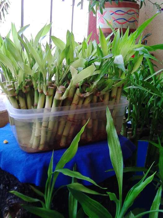 Venta de Lucky Bambú, Importado