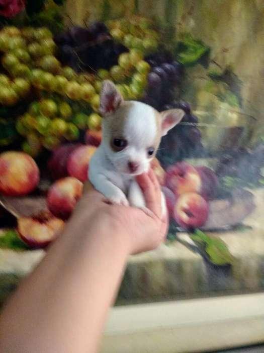 Última Chihuahua Toy